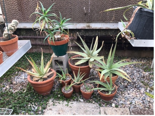 Large succulents in pots in a greenhouse