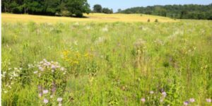 Photograph of a tall grass prairie with purple, yellow, and white flowers on a sunny day.